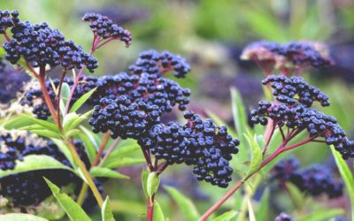 The Elderberry Fruit: its health uses and benefits